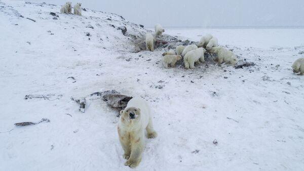 Rusya'nın doğusundaki Çukotka'da mevsim normallerinin üzerinde seyreden hava sıcaklıkları, 50'den fazla kutup ayısının bir köyü istila etmesine neden oldu. - Sputnik Türkiye