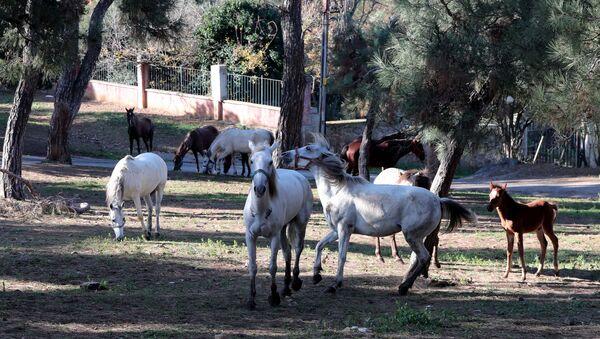 Büyükada'daki atlar. - Sputnik Türkiye