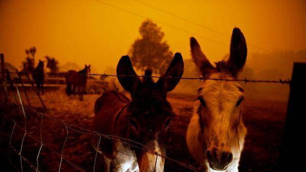 Avustralya'nın yangınlarla kavrulan Yeni Güney Galler eyaletinde korku içinde bekleşen çiftlik hayvanları - Sputnik Türkiye