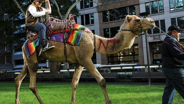 Avustralya'daki toplam yabani deve sayısının 1 milyonun üzerinde olduğu tahmin ediliyor, Ulusal Hörgüç gününde halk evcil develere binerek eğleniyor. - Sputnik Türkiye