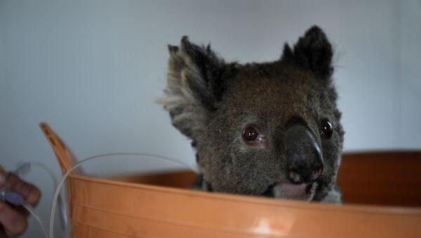 Koala - Sputnik Türkiye