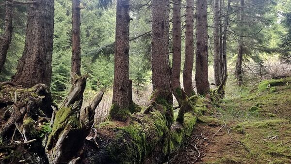 Gövdesinde 17 ağaç yetiştiren 300 yıllık ladin - Sputnik Türkiye