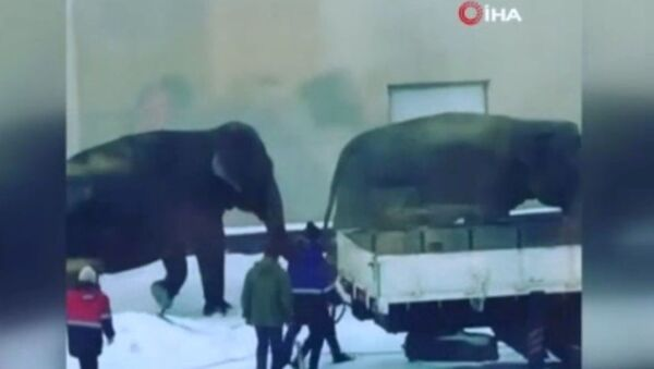 Rusya'da sirkten kaçan filler ortalığı birbirine kattı - Sputnik Türkiye