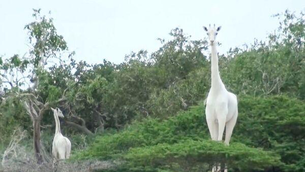 beyaz zürafa - Sputnik Türkiye