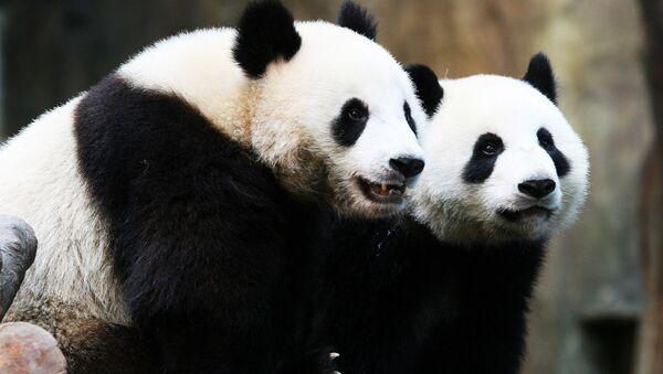 Hong Kong'taki Ocean Park hayvanat bahçesinde bulunan pandalar Ying Ying ve Le Le  - Sputnik Türkiye