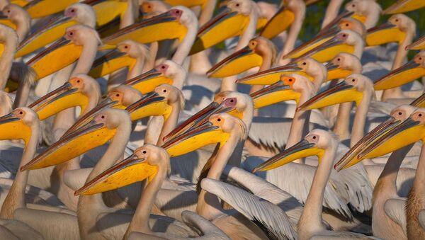 Afrika'dan Avrupa'ya göç eden ak pelikanlar Manyas Kuş Cenneti'nde görüntülendi - Sputnik Türkiye