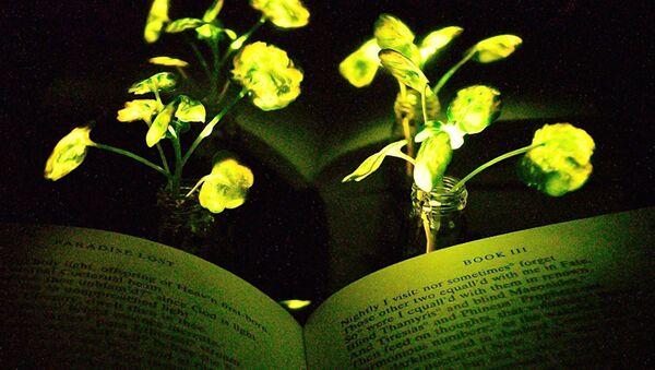 Parıldayan bitkilerin ışığıyla kitap bile okunabiliyor. - Sputnik Türkiye