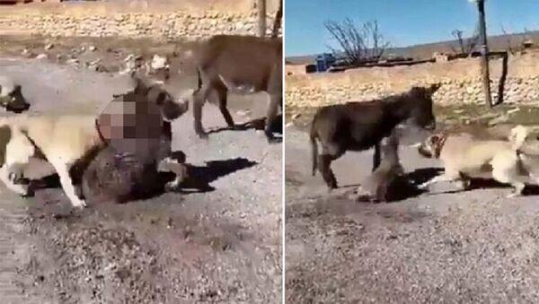 Çoban köpeklerini sıpaya saldırttı - Sputnik Türkiye