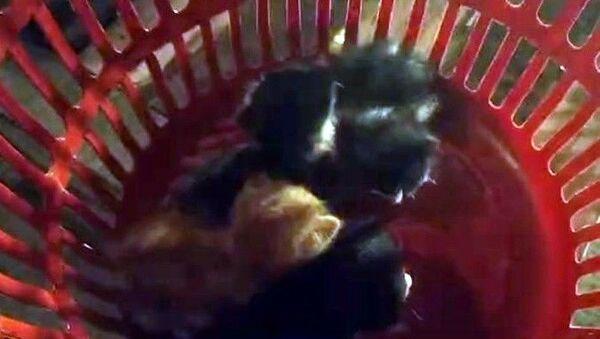Sakarya'nın Serdivan ilçesinde çatıda mahsur kalan 4 yavru kedi itfaiye ekiplerince kurtarılırken, anne kedi yavruları kurtarılana kadar bekledi. - Sputnik Türkiye