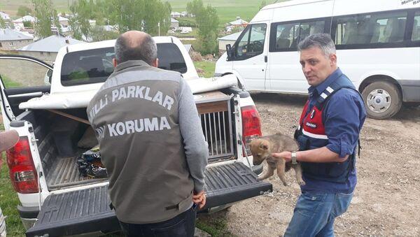 Van'ın Erciş ilçesinde yaban kurtlarını öldürerek yavrularını sahiplenen 4 kişiye 15 bin 25 lira idari para cezası uygulandı. - Sputnik Türkiye