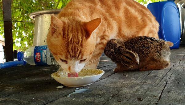 Ev kedisi, tarlada bulunan tavşan yavrusuna annelik ediyor - Sputnik Türkiye