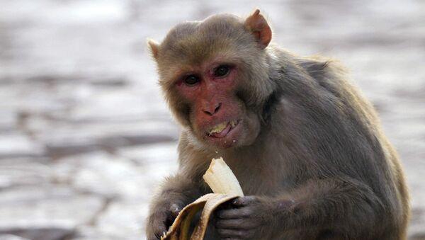 Hindistan, maymun - Sputnik Türkiye