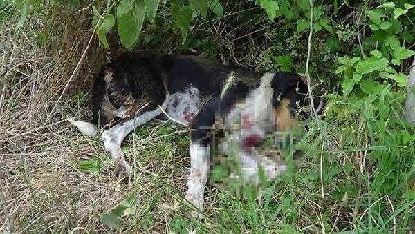 Sokak köpeğini av tüfeğiyle vurdular - Sputnik Türkiye