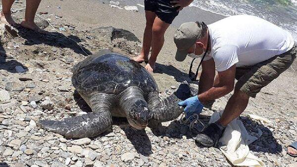 Kuşadası'nda 2 yeşil deniz kaplumbağası kıyıya vurdu - Sputnik Türkiye